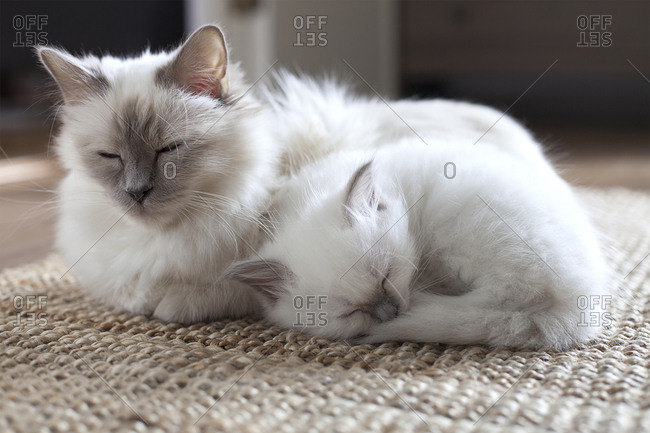 Kitten napping with mother