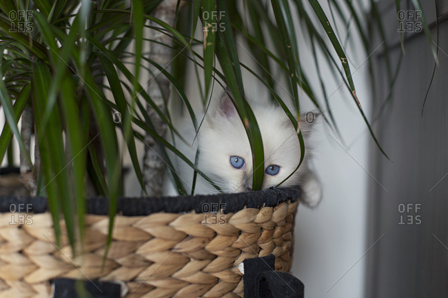 Sacred birman kitten in plant
