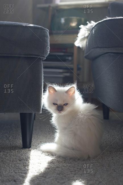 Sleepy birman kitten in sunlight