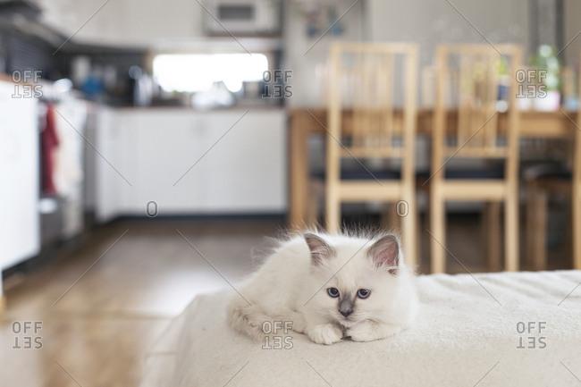 Sacred birman kitten resting