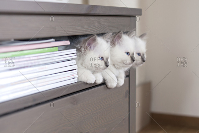 Sacred birman kittens on shelf