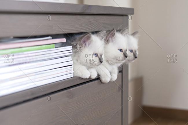 Sacred birman kittens on shelf