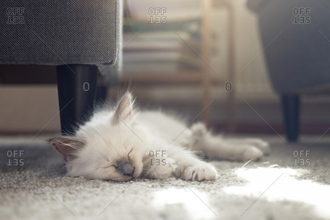 Sleeping sacred birman kitten