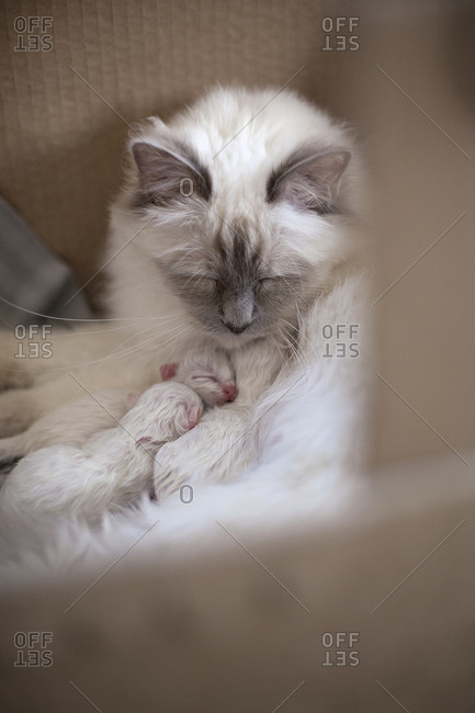Sacred birman cat with kittens