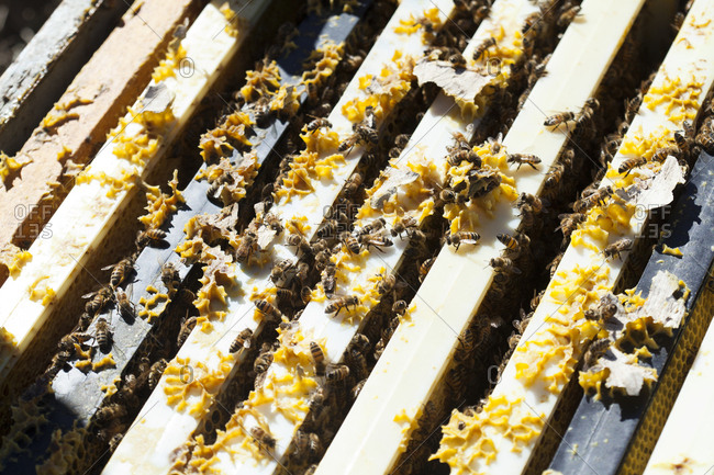 Close up of bees working on beehive