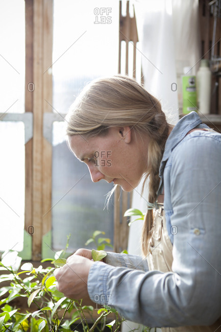 Gardener examining plants in greenhouse