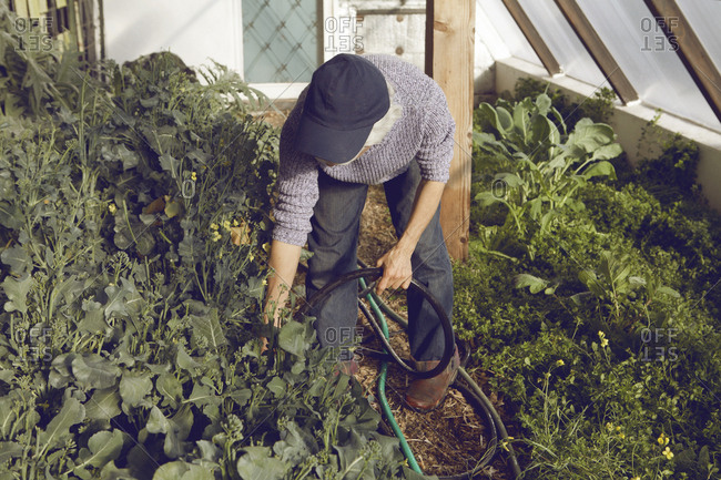 Gardener watering plants in greenhouse