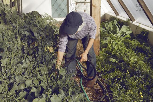 Gardener watering plants in greenhouse