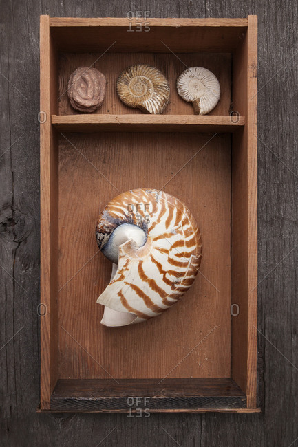 Seashells in display shelf