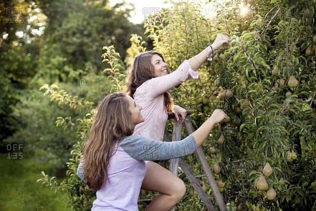 Caucasian women picking fruit in orchard
