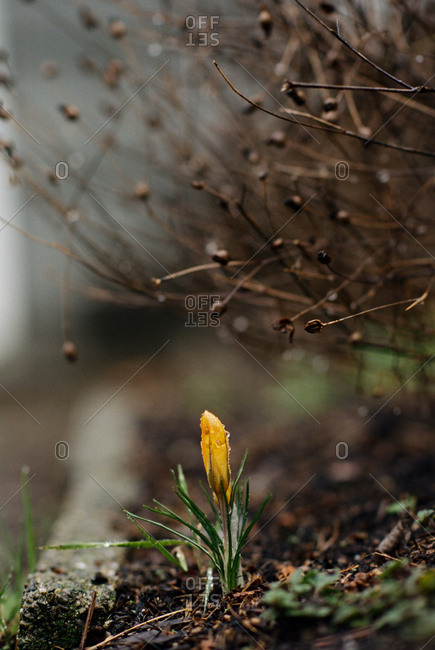 Small yellow crocus blooming in spring