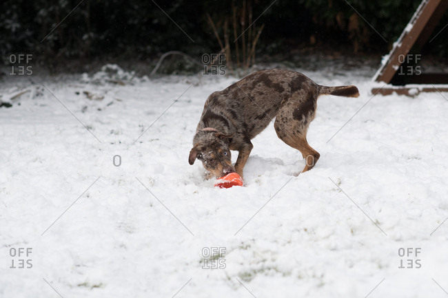 Dog playing with orange toy in the snow