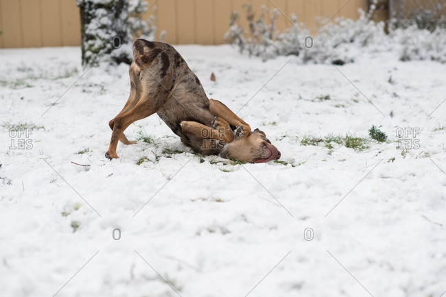 Dog rolling around in the snow