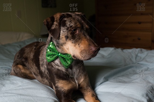 Side view of dog on bed wearing green bowtie