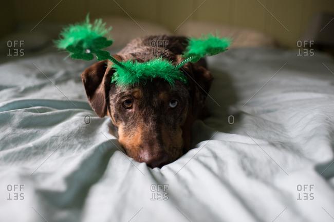 Dog wearing green St. Patrick's Day headband