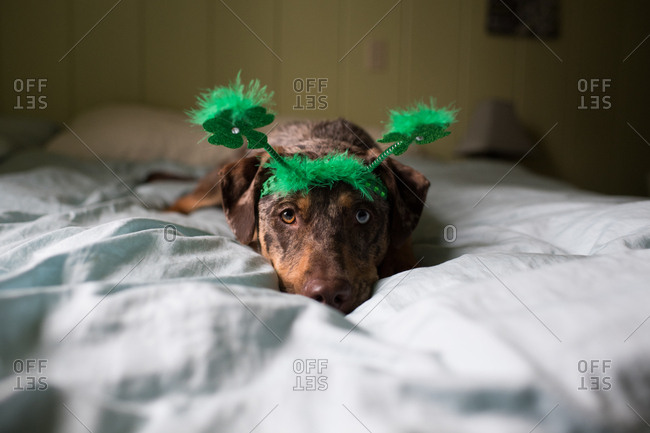 Dog on bed wearing green headband