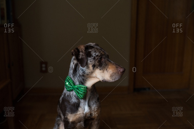 Side view of dog wearing green bowtie