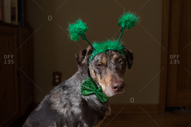 Dog wearing green St. Patrick's Day headband and bowtie