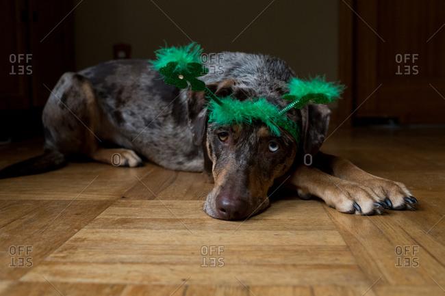 Dog wearing green St. Patrick's Day lucky headband