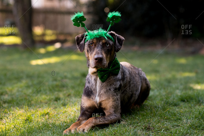 Dog lying in grass wearing green headband and bowtie