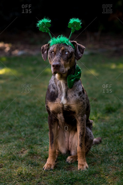 Dog sitting in grass wearing green headband and bowtie
