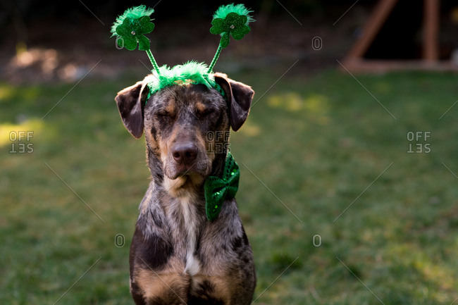 Close up of dog wearing green headband and bowtie