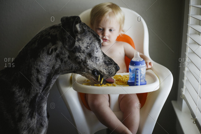 Great Dane eating food from the highchair of a little boy