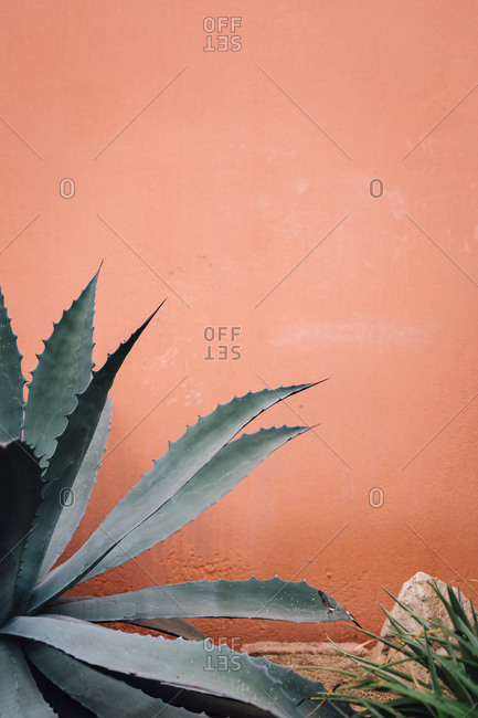 Agave plant growing by wall