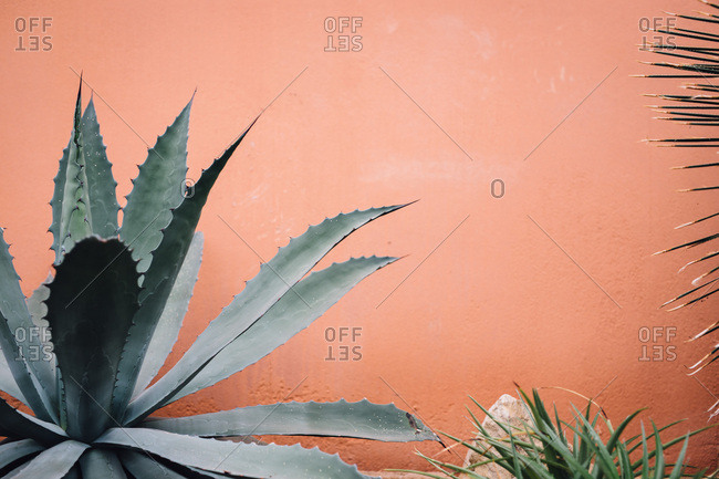 Agave plant growing by a wall