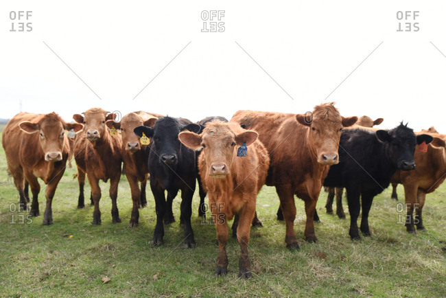 Herd of brown and black cows in a field