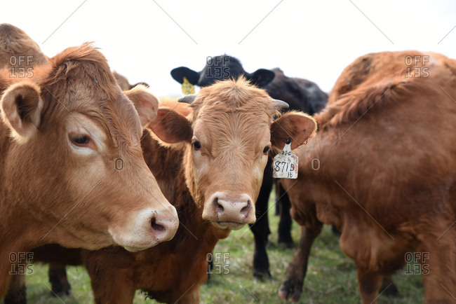 Cattle with numbered ear tags standing in a field