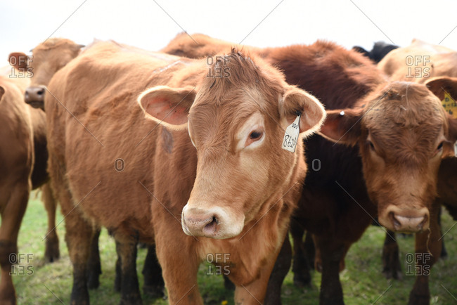 Cows with numbered ear tags in a field