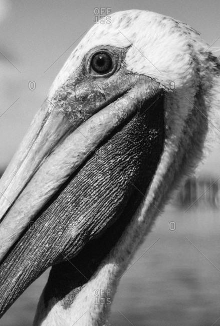 Close up of a pelican's head