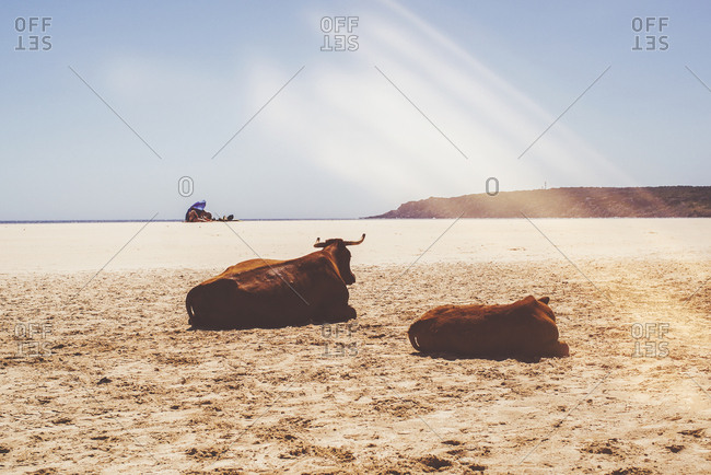 Cow and her calf resting on a sandy beach