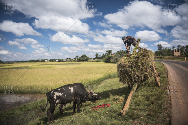 Working in rice paddy fields on RN7 (Route Nationale 7) at Ambatolampy