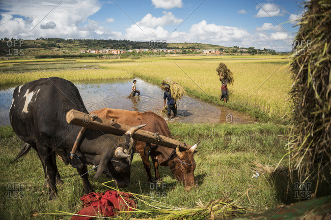 Antananarivo, Antananarivo, Madagascar - June 17, 2016: Working in rice paddy fields on RN7 (Route Nationale 7) at Ambatolampy