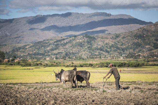 Antsirabe, Antananarivo, Madagascar - June 17, 2016: Ploughing with Zebu in Manandoana Valley rice paddy fields