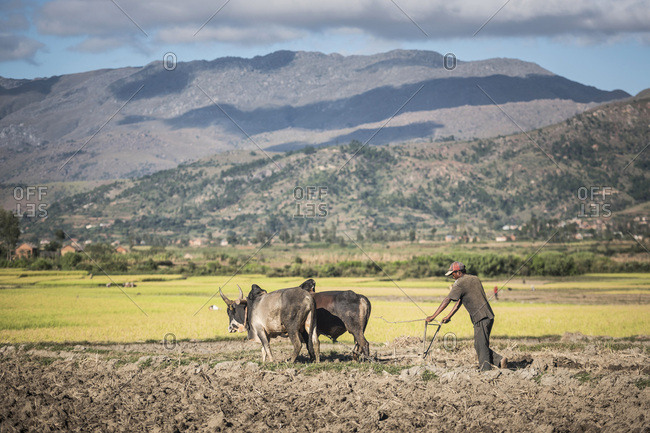 Antsirabe, Antananarivo, Madagascar - June 17, 2016: Ploughing with Zebu in Manandoana Valley rice paddy fields