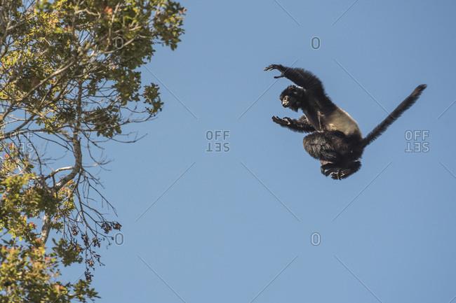 Milne-Edwards Sifaka (Propithecus Edwardsi) jumping between trees in Ranomafana National Park