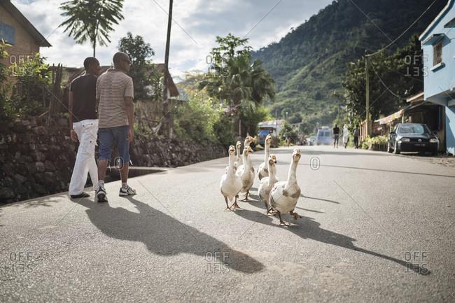 Toliara, Madagascar - June 17, 2016: Geese in Ranomafana