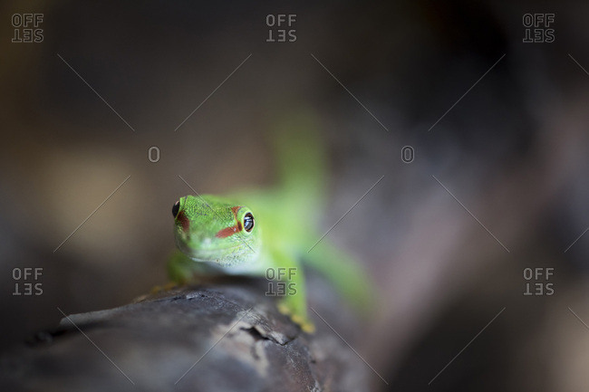 Madagascar Green Day Gecko (Phelsuma madagascariensis madagascariensis)
