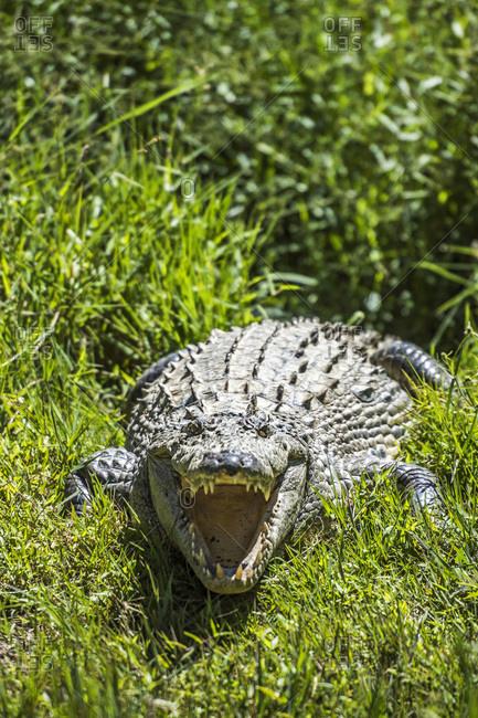 Madagascar Nile crocodile, known locally as Croco Mada (Malagasy Crocodile)