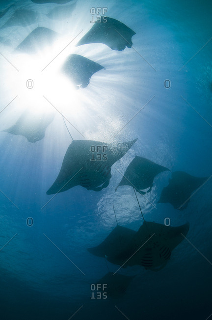 Backlight of a group of mantas feeding on plankton