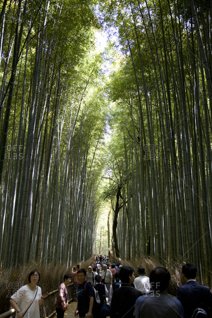 Kyoto, Japan - August 21, 2016: Bamboo forest