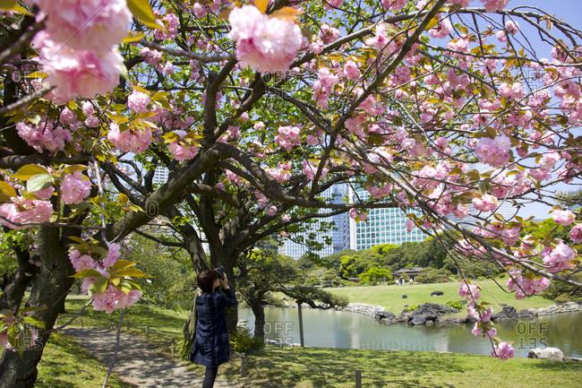 Cherry blossom in Hama-riku garden