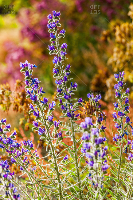 Etna wildflowers
