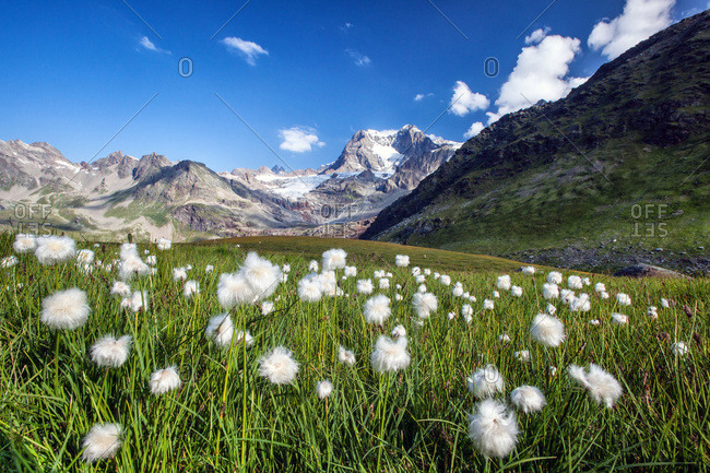 Bloomin of cotton grass at Confinale Pass, with Pizzo Zup÷ in the background, Valmalenco