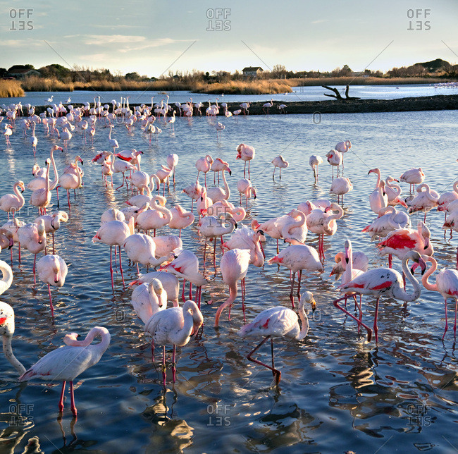 Parc Ornithologique de Pont-de-Gau, Pink Flamingo