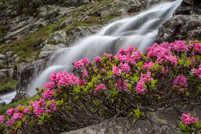Rhododendrons at Fontana Valley, Retiche alps