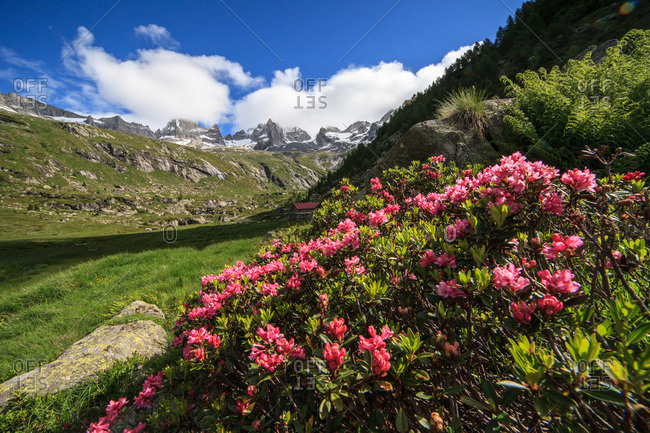 Rhododendrons in Porcellizzo valley, in the background Badile peak and Cengalo peak, Val Masino